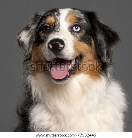 Close-up of Australian Shepherd in front of grey background - stock photo