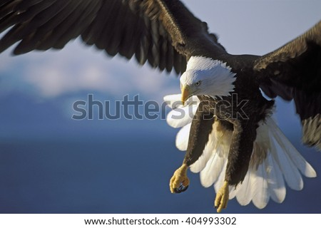 Close up of Bald Eagle in flight over water. - stock photo