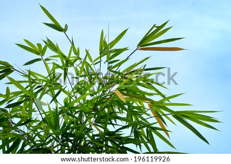Close up of bamboo leaves, selective focus. - stock photo