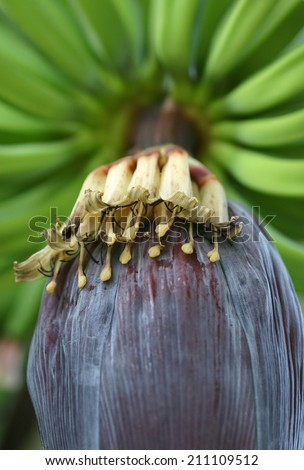 close-up of banana flowers with green bananas in background - stock photo
