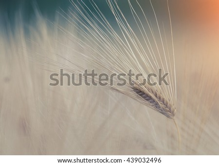 Close up of barley ears in the field at sunset in early summer time - stock photo