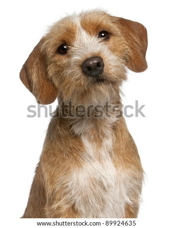 Close-up of Basset Fauve de Bretagne, 1 year old, in front of white background - stock photo