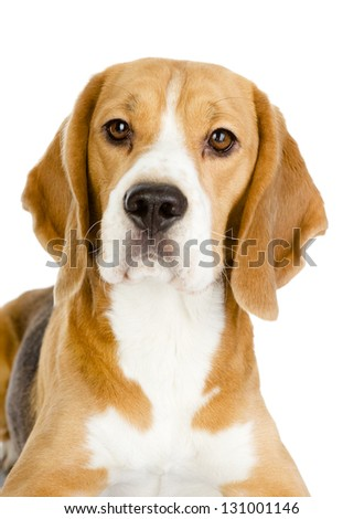 Close-up of Beagle puppy in front. isolated on white background - stock photo