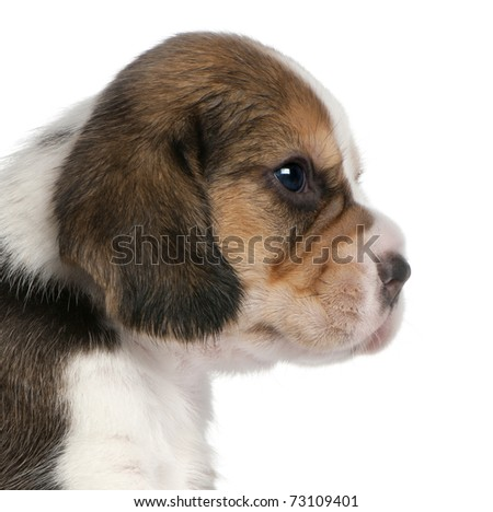 Close-up of Beagle Puppy, 1 month old, in front of white background - stock photo