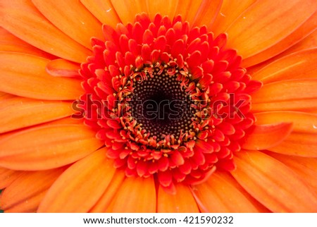 Close-up of beautiful blooming orange gerbera daisy flower - stock photo