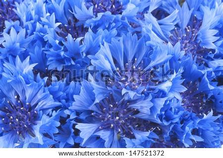 Close up of beautiful blue flower of cornflower - stock photo