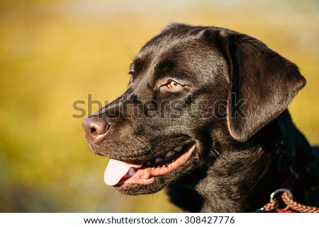 Close-up of Beautiful Brown Dog Head, Snout Of Lab Labrador Retriever Staying Outdoor In Spring - stock photo