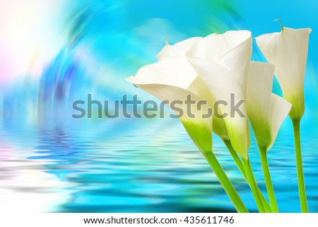 Close up of beautiful calla lily flower - stock photo