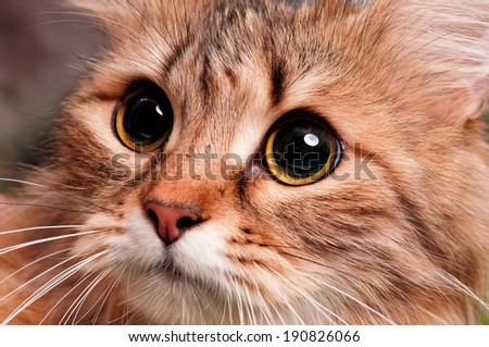 Close up of beautiful cat looking at up - stock photo