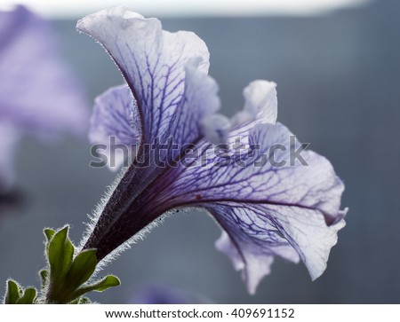 Close up of beautiful colorful blooming petunia flower in evening ligh. Blur background/Beautiful purple petunia flower close-up  - stock photo
