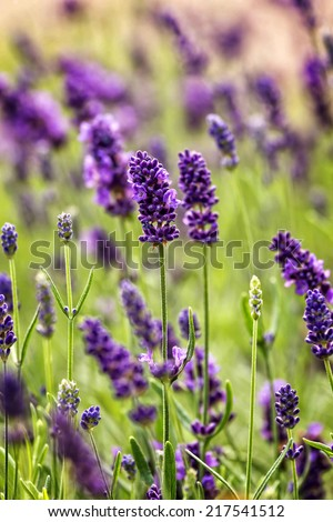 Close up of beautiful lavender flowers - stock photo