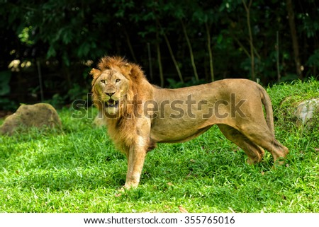 Close up of beautiful lion, selective focus.  - stock photo