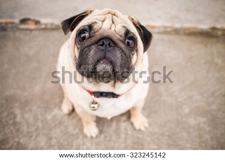 Close up of Beautiful male Pug puppy sad dog - stock photo