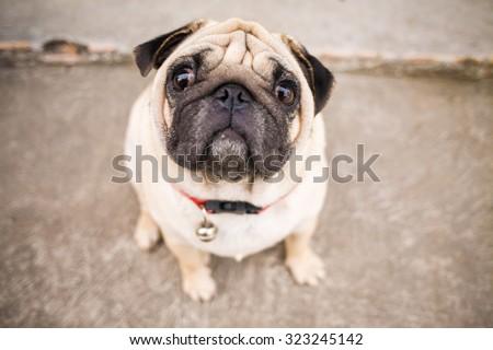 Close up of Beautiful male Pug puppy sad dog - stock photo