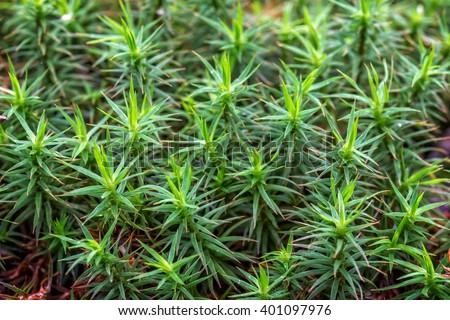 Close up of beautiful moss,Heath Pearlwort (Sagina subulata) - stock photo