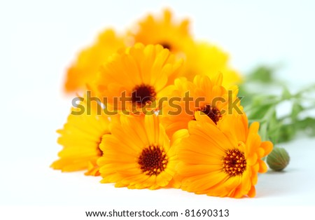 Close-up of beautiful orange pot marigolds. Shallow dof - stock photo