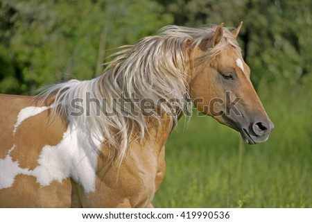 Close up of beautiful Palomino Paint Stallion running in meadow