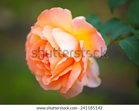 Close up of beautiful peach rose  - stock photo