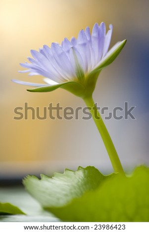 Close-up of beautiful pink lotus with blur background - stock photo