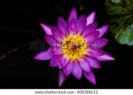 close up of beautiful purple lotus is blooming with dark background - stock photo