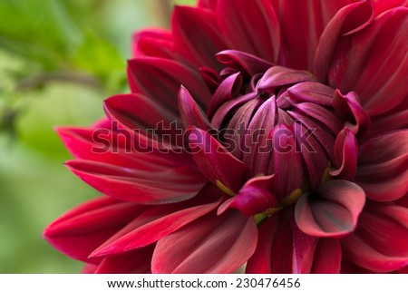 Close-up of beautiful red dahlia in full bloom. - stock photo