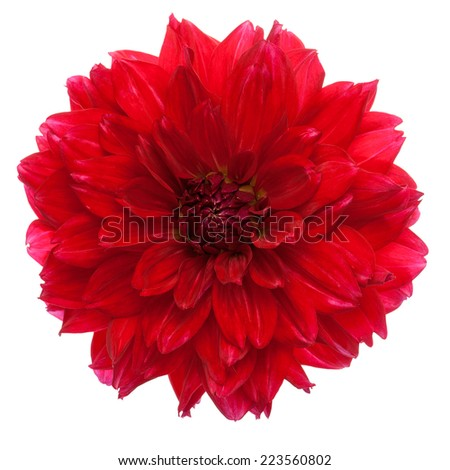 Close-up of beautiful red dahlia isolated on a white background. - stock photo