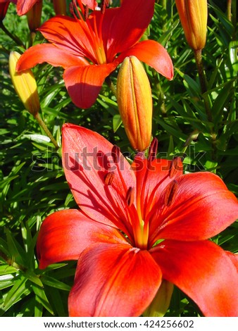 close up of beautiful red lily flower - stock photo