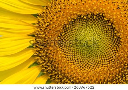 Close up of beautiful sunflower. - stock photo
