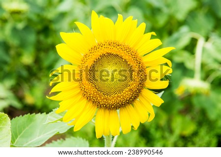 Close up of beautiful sunflower in the field, Thailand. - stock photo