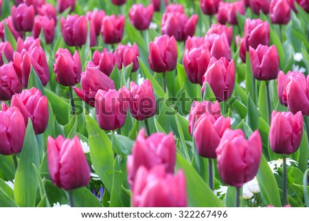 Close up of beautiful tulips in spring in the Netherlands - stock photo