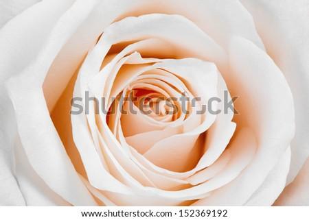 Close-up of beautiful white rose. - stock photo