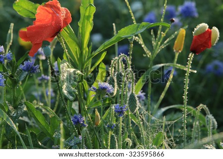 close-up of beautiful wild flowers in the morning dew on the summer meadow - stock photo