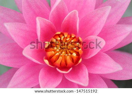 close up of beautiful yellow-pink lotus flower - stock photo