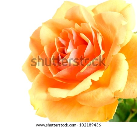 Close up of beautiful yellow rose flower.