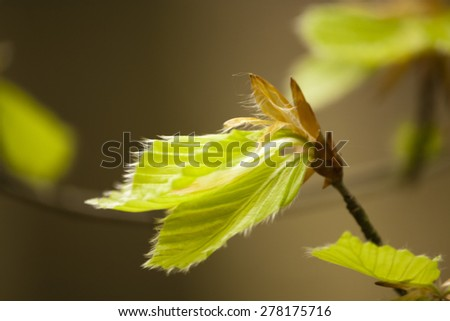 Close up of Beech tree leaves beginning to open in Spring - stock photo