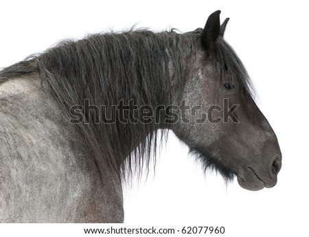 Close-up of Belgian horse, Close-up of Belgian Heavy Horse, Brabancon, a draft horse breed, standing in front of white background