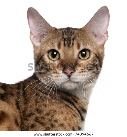 Close-up of Bengal cat, 7 months old, in front of white background - stock photo