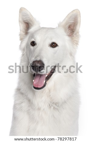 Close-up of Berger Blanc Suisse, 2 years old, in front of white background - stock photo