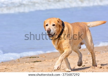 Close-up of big brown labrador running on beach. Sea waves on background
