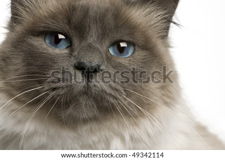 Close-up of Birman cat, 17 months old, in front of white background - stock photo