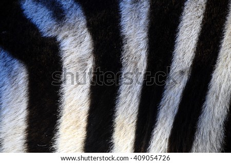 Close up of black and white stripes of a zebra for background or texture