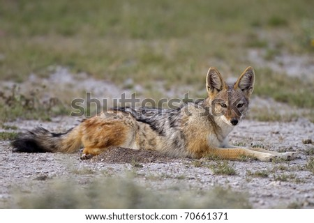 Close-up of Black-backed jackal laying in grassfield; Canis mesomelas