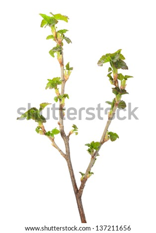 Close-up of black currant (Ribes nigrum) blossom twigs isolated on white  - stock photo