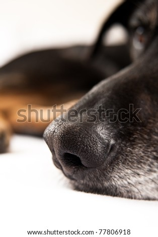 Close Up of Black Dog Nose Sleeping in Bed - stock photo