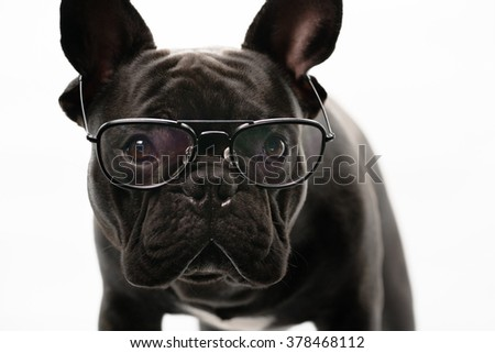 Close-up of Black French bulldog wearing glasses , 1 year old, isolated on a white background - stock photo