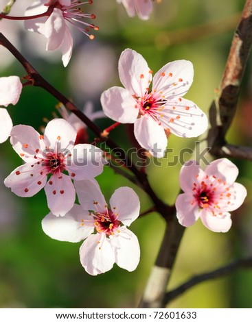 Close up of blooming cherry - stock photo