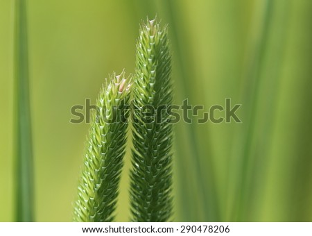 Close-up of blooming grass with pink colored top.Two spikes leaning toward each other as a happy couple. - stock photo