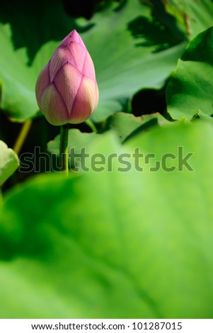 Close up of blooming lotus flower with leaves