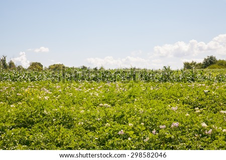 close-up of blooming potato plantation in the vegetable garden - stock photo