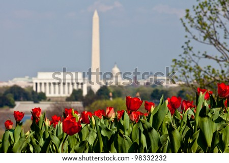 Close up of blooming red tulips in the foreground with an out of focus view of Washington DC skyline in late afternoon on a sunny day with Lincoln Memorial, Washington Monument and the Capitol